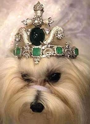 太土豪了!泰国男子花费一亿元给狗狗做皇冠