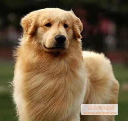 金毛寻回犬_纯种金毛犬图片-我们爱宠物网