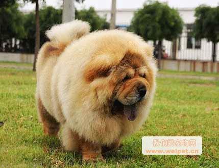 漂亮的松狮狗狗图片-我们爱宠物网