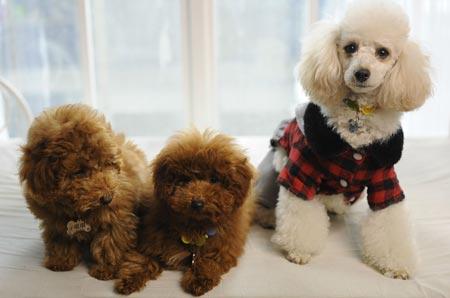 泰迪犬和贵宾犬的区别是什么?
