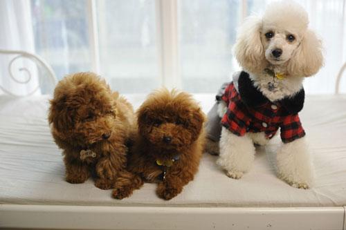 泰迪狗艺术照图片